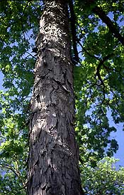 Shagbark Hickory photo