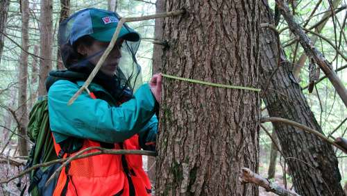 Shauna Sousa '17, measures the diameter of a hemlock tree as part of a Harris Center forest inventory.
