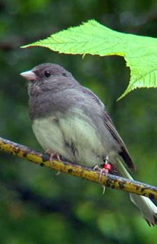 Ordinary Extraordinary Junco