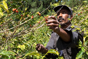 Coffee farmer picking ripe beans on the island of St Helena